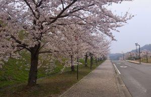 miyamakouen-sakura (2)